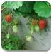 逃离草莓农场